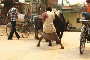 Eine Kuh hats (h)eilig. Torrero Trainings-Einheit auf indisch.