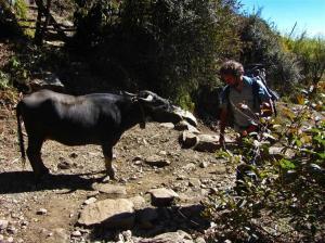 Umleitung Kuh - kommt öfter vor