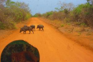 Asia-Wildschweine. Quasi allgegenwärtig.