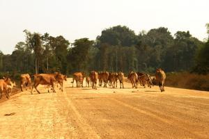 Neue Dirtroad zwischen Stung Treng und Tbeang Meanchey, auch für Kühe